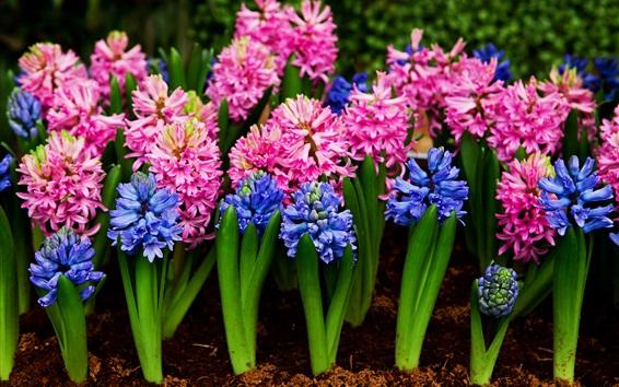 배경 화면 핑크와 블루 hyacinths, 꽃