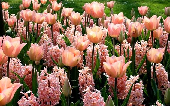Fond d'écran Fleurs roses, jacinthes et tulipes