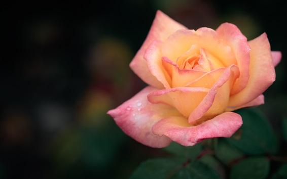 Papéis de Parede Pétalas cor de rosa laranja, flor rosa