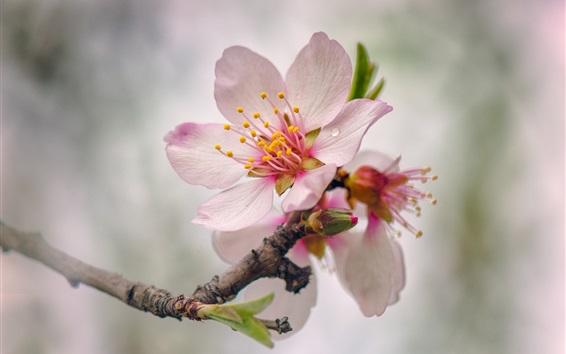Papéis de Parede Flores de pêssego rosa florescem, Primavera