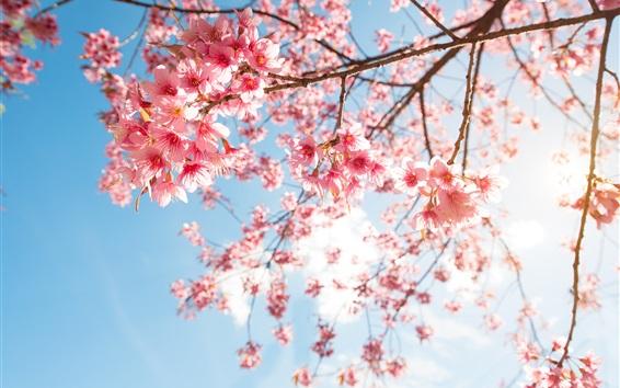 Wallpaper Pink sakura blossom, twigs, sky, sunshine