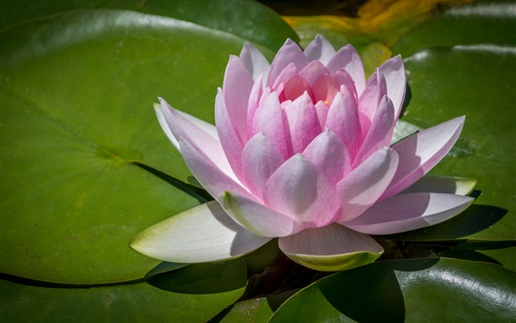 Wallpaper Pink water lily, flower, green leaves, pond