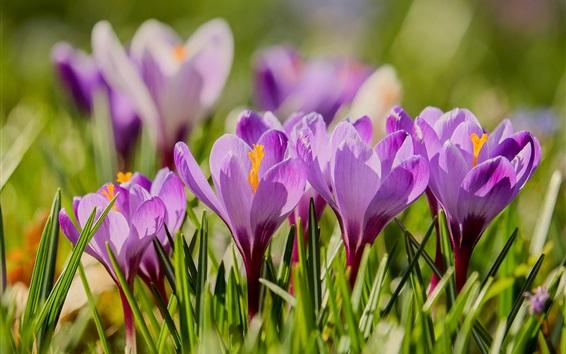 Обои Фиолетовые цветы, цветение, крокусы, весна