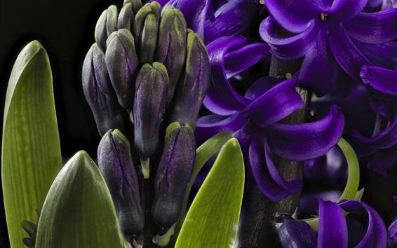 Обои Макрофотография фиолетового гиацинта, лепестки
