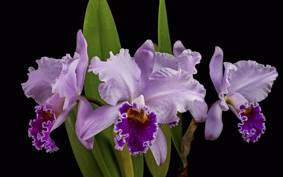Wallpaper Purple orchid, black background