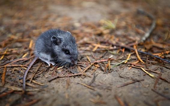 Wallpaper Rat on ground