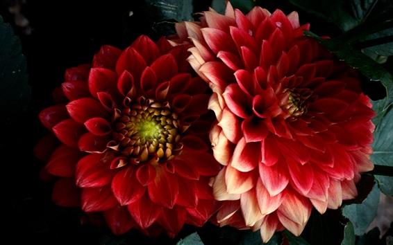 배경 화면 빨간색 달리아, 꽃잎, 검정색 배경