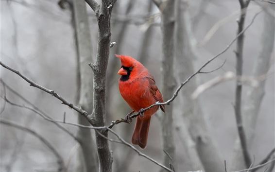 Papéis de Parede Pássaro de penas vermelhas, árvore, galhos