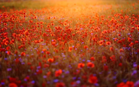 壁紙 赤い羊の花畑、日差し、朝