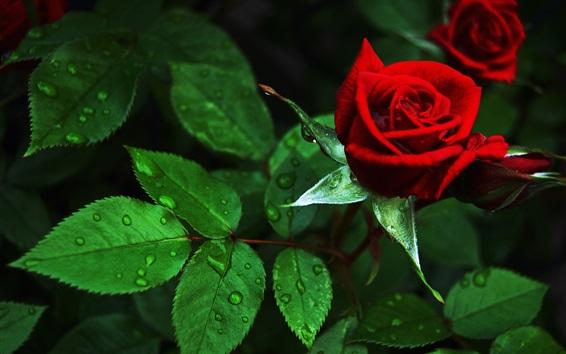 壁紙 赤いバラ、緑の葉、水滴