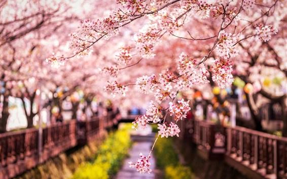 Papéis de Parede Sakura floresce, primavera, Japão
