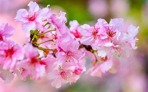 Papéis de Parede Sakura flores macro fotografia, galhos, primavera