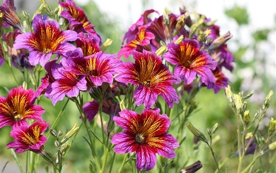 Fond d'écran Salpiglossis, fleurs violettes