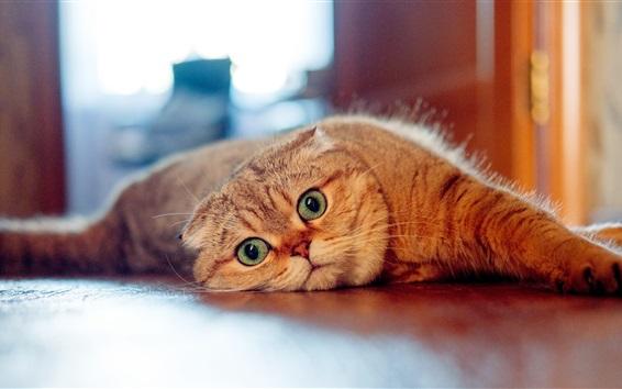 Обои Шотландская кошка, взгляд, ленивый