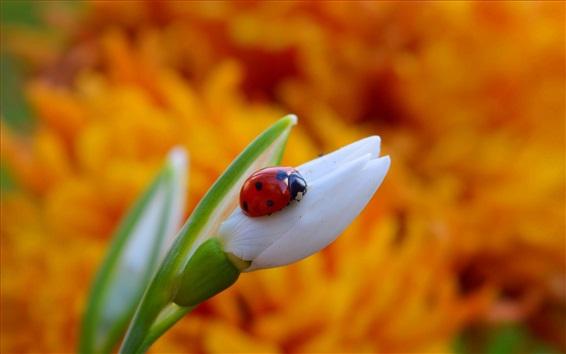 桌布 雪花蓮和瓢蟲