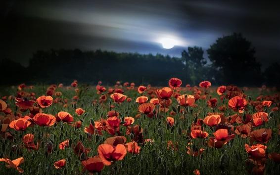 Wallpaper Summer, red poppies, moon, night