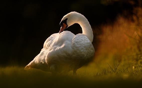 Wallpaper Swan look back