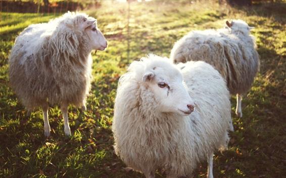 Wallpaper Three sheeps, wool