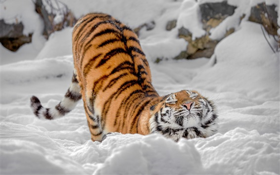 Обои Тигр, поза, снег, зима