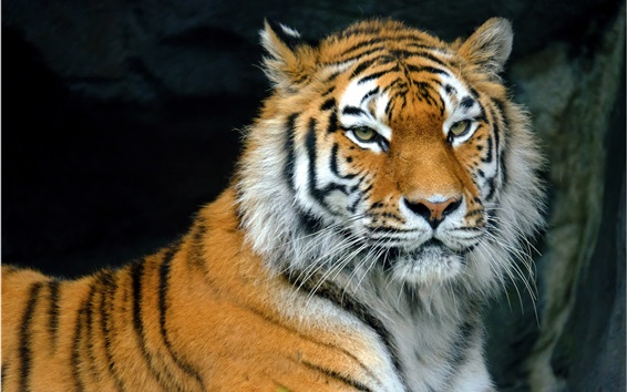 Обои Тигр отдыха, хищник, лицо, глаза