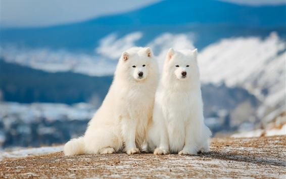 Papéis de Parede Dois, samoyed, cachorros