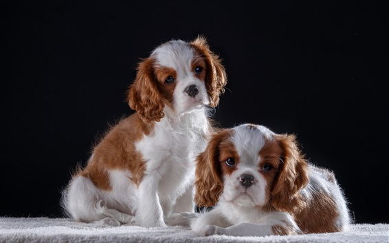 Wallpaper Two cute puppies, furry dog, black background