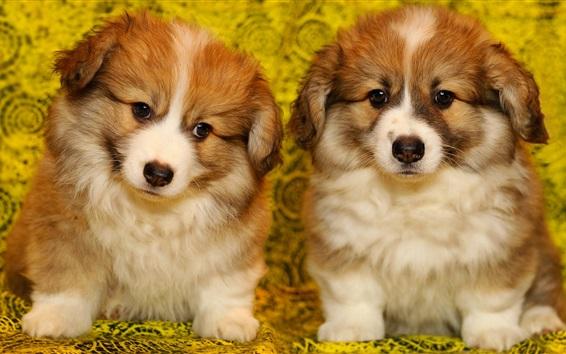 Обои Два симпатичных щенка, пушистая собака