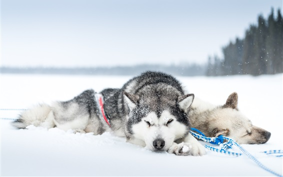 Wallpaper Two dogs sleep in the snow ground