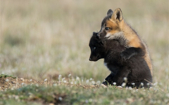 Wallpaper Two fox cubs play games