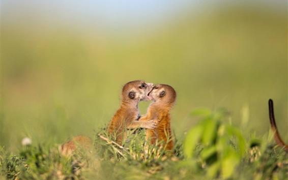 Papéis de Parede Dois suricatas jogar jogos, animais selvagens