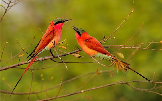 Wallpaper Two red feather birds, bee-eaters