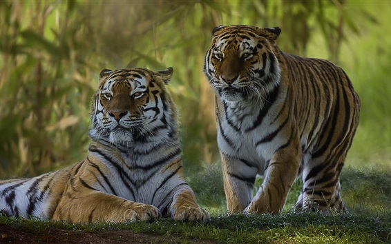 Wallpaper Two tigers, wild cat