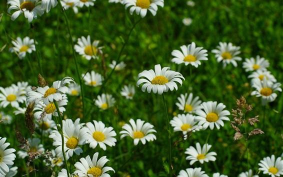 Wallpaper White chamomile flowers, grass, spring