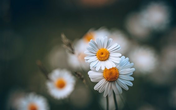 Обои Белые цветы ромашки, лето