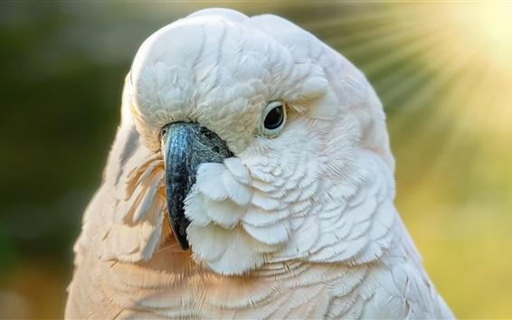 Papéis de Parede Penas brancas papagaio, rosto, bico