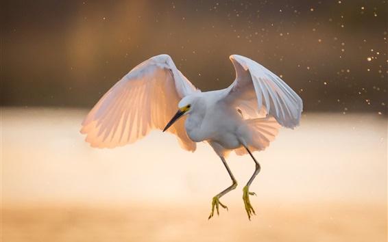 Papéis de Parede Garça branca, voo, asas