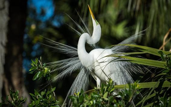 Обои Белая цапля смотрит вверх, перья