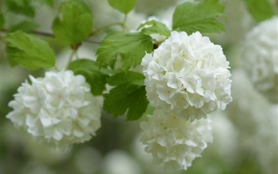 Fondos de pantalla Hortensia blanca, inflorescencia
