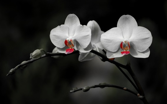 Wallpaper White phalaenopsis, black background