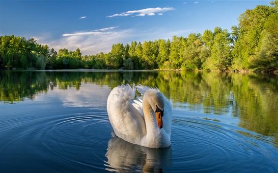 Papéis de Parede Cisne branco, lago, água, árvores