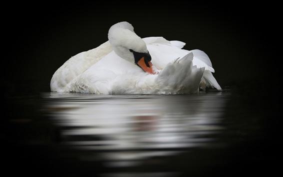 Wallpaper White swan, water, reflection