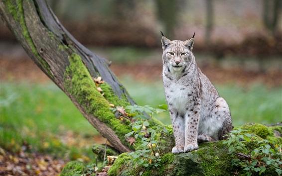 Fond d'écran Chat sauvage, lynx, arbres, mousse