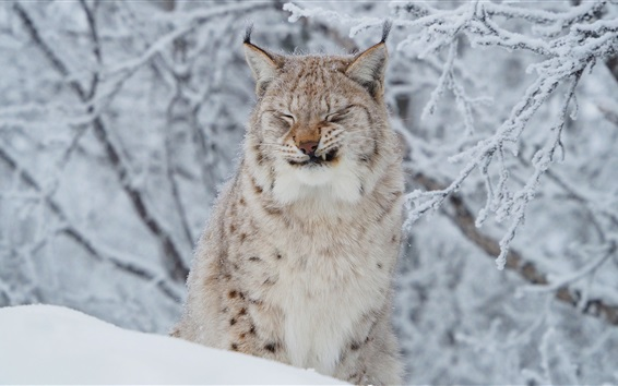 Wallpaper Wild cat, lynx, winter, snow