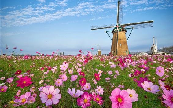 Wallpaper Windmill, grass, pink kosmeya flowers