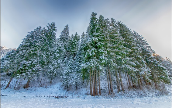 Обои Зима, ель, снег