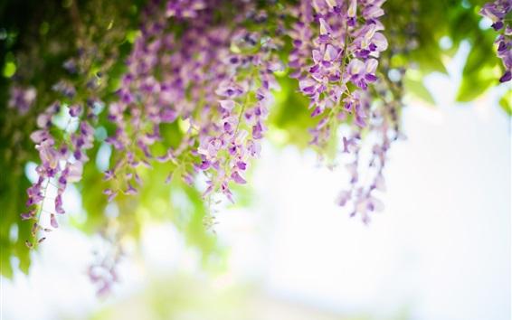 배경 화면 등나무, 꽃, 봄