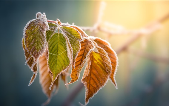 Wallpaper Yellow leaves, frost, autumn