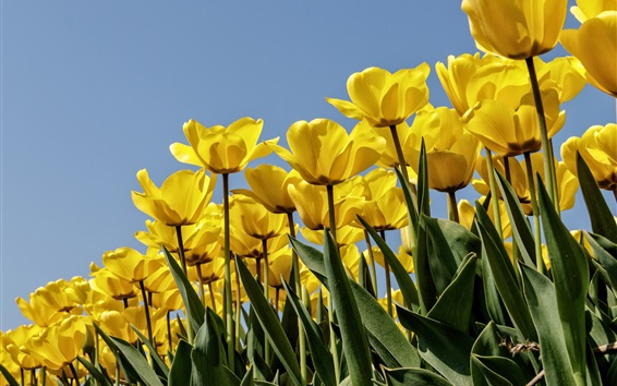 Wallpaper Yellow tulips, blue sky