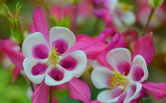 Wallpaper Aquilegia, pink flowers, spring