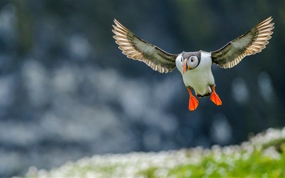 Papéis de Parede Vôo do papagaio-do-mar atlântico, asas